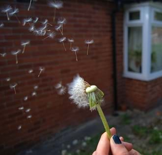 A girl holding a dandelion with its seeds dispersed in the air.
