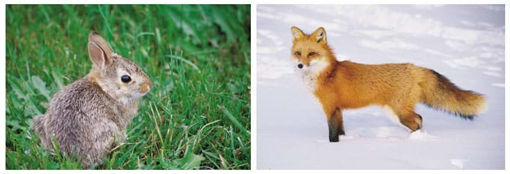 Photos of a rabbit and fox in the wild.