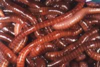 Close-up photo of a pile of red compost worms.