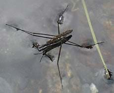 Photo of a long-legged insect on the water surface.