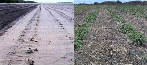 Photographs of two potato fields; one is unprotected against wind and is dry and dusty; the other has been protected with straw and has green foliage.