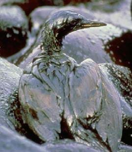 A photograph shows a bird covered in oil as a result of the Exxon Valdez Oil Spill in 1989.