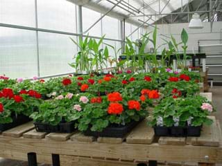 Photo shows the inside of a greenhouse with walls and angled roof of transparent material, and benches full of growing flowers and plants.
