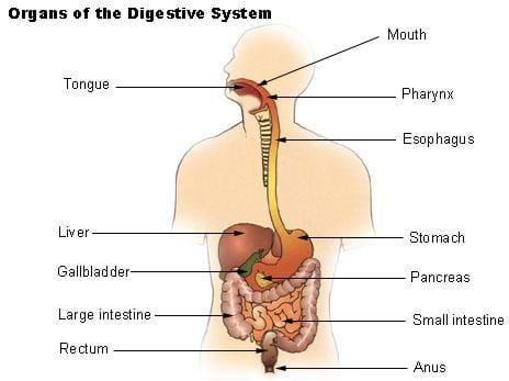 A diagram of the human digestive system, with labels and arrows pointing to the various organs. Shown is the tongue, mouth, pharynx, esophagus, liver, stomach, gallbladder, pancreas, large and small intestine, rectum and anus.