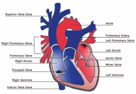 A red and blue drawing the heart with the four chambers, the valves, and the major veins and arteries labeled.
