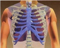 A drawing of the human chest cavity showing the clavicle, vertebrae, ribs and lungs.