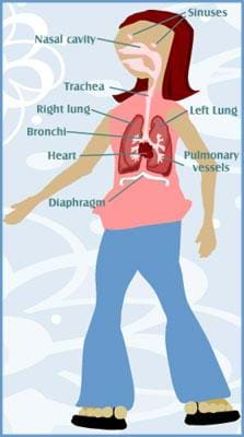 A drawing of a girl showing her respiratory system. Labeled are the nasal cavity, the trachea, the right and left lungs, the bronchi, the heart, the pulmonary vessels and the diaphragm.