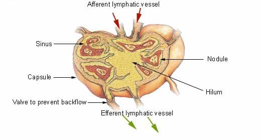 A medical drawing shows a lymph node with lymph flowing through it. The following components are labeled: afferent lymphatic vessel, sinus, nodule, capsule, hilum, valve to prevent backflow, efferent lymphatic vessel.