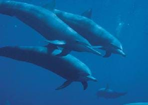 Photograph of four dolphins swimming in ocean waters.