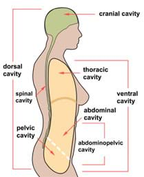 A side view cut-away (sagittal) schematic of a human shows the locations of the following cavities: cranial, dorsal, thoracic, spinal, ventral, abdominal, pelvic and abdominopelvic.