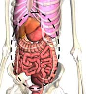 A front view drawing shows an under-skin view of a human torso with bones and organs, with a dashed line encircling the abdominal cavity.