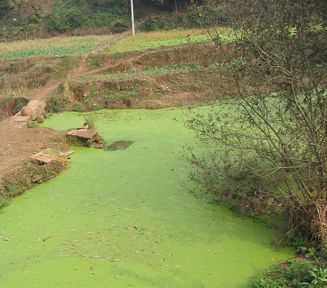 A photograph shows a pond with its water surface area completely covered with bright green algae.