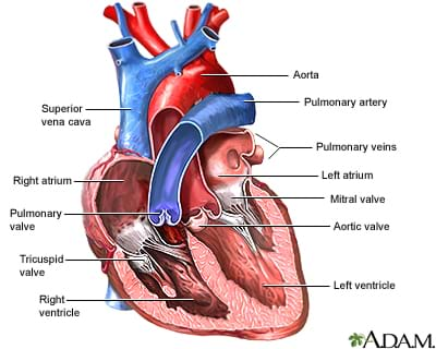 what do i need to know about heart valves lesson   : heart diagram valves - findchart.co
