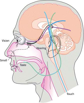 Vestibular System Disorders furthermore Tissues Organs And Systems R2 together with Advance Therapy In Hypertension Jyotippt likewise Stock Image Olfactory System Inside Human Head Bulb Top Which Connects To Scent Cells Bottom To Identify Odors Image40671861 besides Wpi sensory toys activity1. on brain organ system